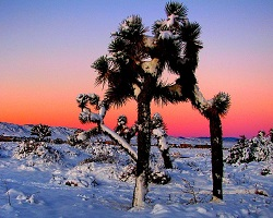 mojave winter joshua tree