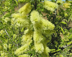 Catclaw acacia flower