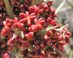 Crucifixion thorn fruit