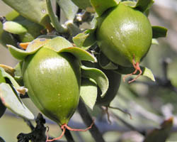 Jajoba fruit