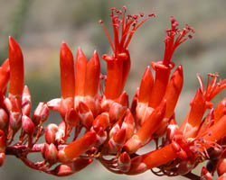 Ocotillo These Tall Plants Have Many Thin Limbs That Grow Upward At Some Times Of The Year A Cer Bright Red Tubular Flowers Left Grows From