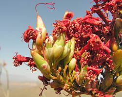 Ocotillo fruit