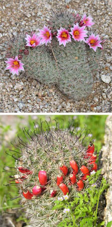 Pincushion cacti flower and fruit