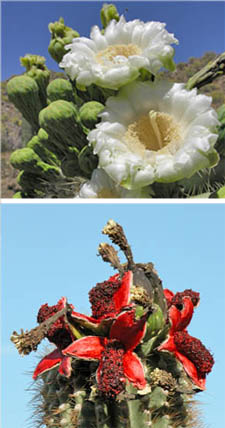 Saguaro flowers and fruits