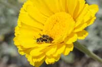 Bees mating on a desert marigold.