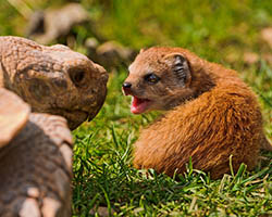 Baby mongoose with tortoise