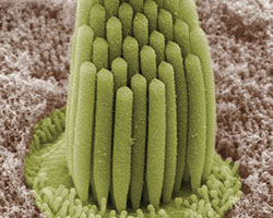 Stereocilia in a frog ear