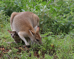 Mother wallaby grazing on bushes