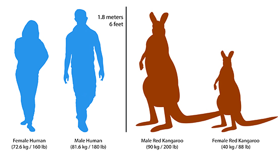 How tall are kangaroos compared to humans?