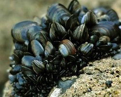 Clump of blue mussels