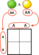Biology help about punnett squares and that kinda stuff?