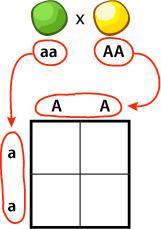 Punnett Square, aa x AA