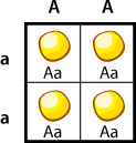 Punnett Square, Aa all yellow