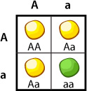 Punnett Square, crossing 2 heterozygotes