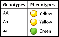 Punnett Square, results of heterozygous cross