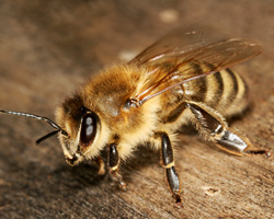 Honey Bee Bees Live In Colonies Where Many Female Worker Forage For Food And Take Care Of The Hive Larvae Grow Honeycomb Shaped Cells Fed By