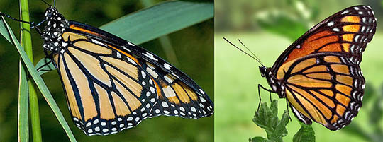 male and female monarchs asu ask a biologist male models