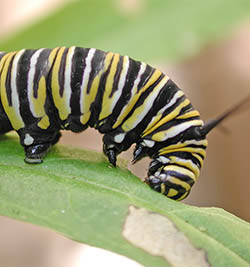 Monarch butterfly caterpillar eating a Swan plant.