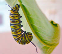 Monarch Butterfly beginning its pupation on the leaf