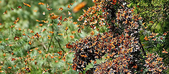 Monarch Butterflies Overwintering