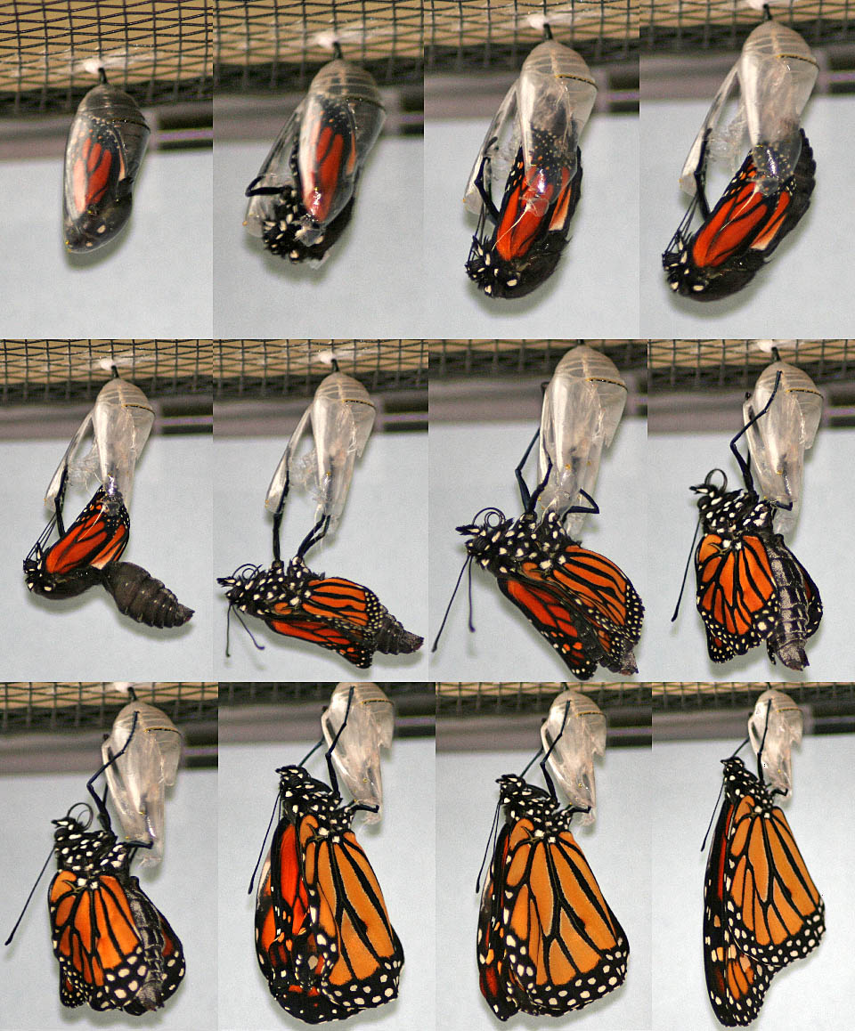 monarch butterfly life cycle asu ask a biologist