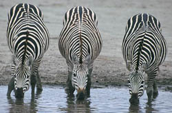 Three Zebras Drinking