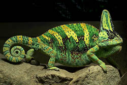 Chameleon with green and yellow stripes
