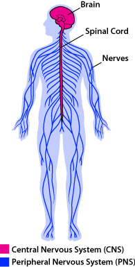 image showing a simplified diagram of the nervous system, showing the outline of a human, with the brain and spinal cord colored in pink (the central nervous system, or CNS) and the rest of the nerves, shown as branches through the arms, torso, and legs, colored in blue (the peripheral nervous system, or PNS)