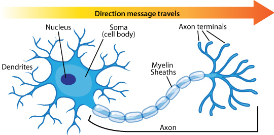 Neuron diagram types ask a biologist nerve cell anatomy ccuart Choice Image