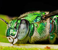 Orchid bee sleeping attached to leaf