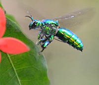 Male orchid bee