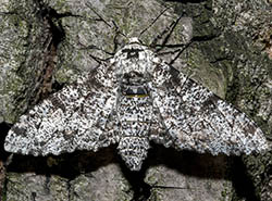 Light form of peppered moth