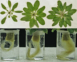 Arabidopsis growth