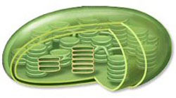 Chloroplast model