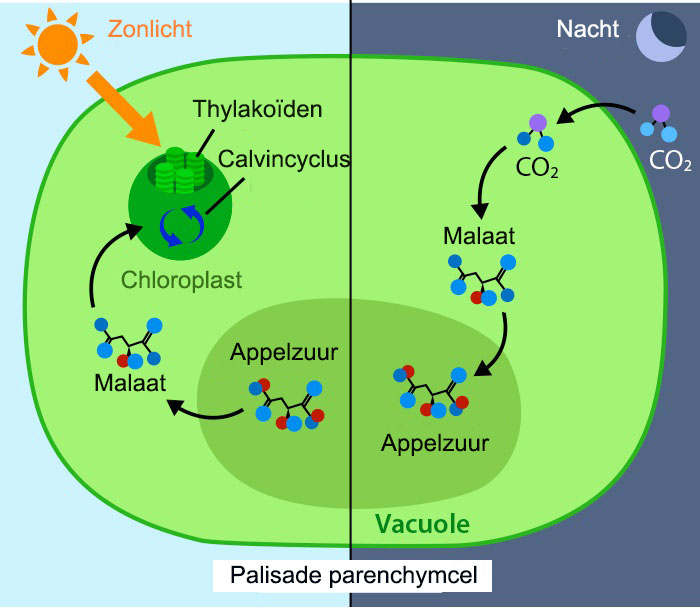 Onwijs Crassulacean Acid Metabolisme   Ask A Biologist OT-74