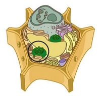 Plant cell illustration
