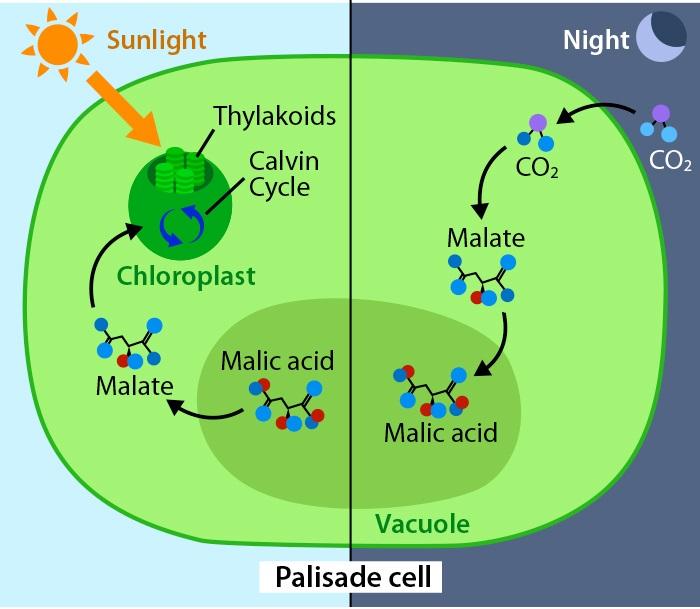 Crassulacean Acid Metabolism | ASU - Ask A Biologist
