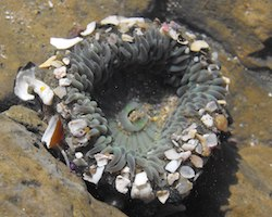 Sea anemone with shells stuck to the outside