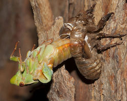 Green grocer cicada molting