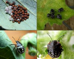 Instars of shield bugs