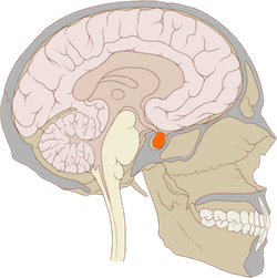 Illustration of cross-section of the head, showing the brain with the pituitary highlighted.