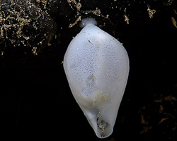 An almost teardrop-shaped white sea sponge with one main attachment point.