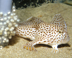 Spotted handfish with eggs