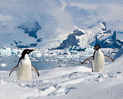 Adelie penguins in the snow