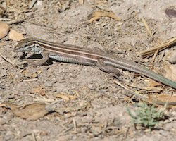 A whiptail lizard, Aspidocelis uniparens, laying on the dirt ground.