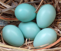 Starling Eggs