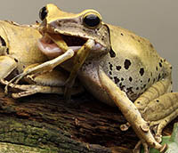 Tree frog cannibal