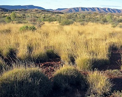 Clumpy grass Spinifex