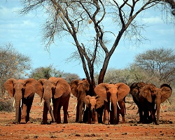 Elephants of Kenya
