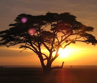 Acacia on the serengeti at sunrise